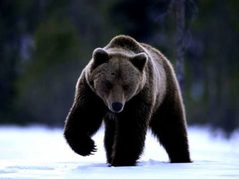 the-golden-bear